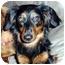 Photo 1 - Dachshund Dog for adoption in Overland Park, Kansas - Stella