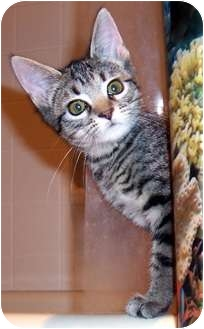 Domestic Shorthair Kitten for adoption in Oklahoma City, Oklahoma - Gabriel