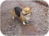 Corgi Mix Dog for adoption in Hedgesville, West Virginia - Bailey
