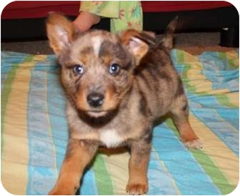 Cattle Dog Mix Puppy for adoption in Hagerstown, Maryland - Chance