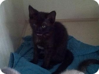 Domestic Shorthair Kitten for adoption in Gainesville, Florida - Daisy