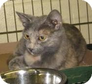 Domestic Shorthair Kitten for adoption in Stillwater, Oklahoma - Gabby