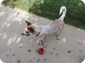 Cattle Dog Mix Dog for adoption in Gustine, California - SIS