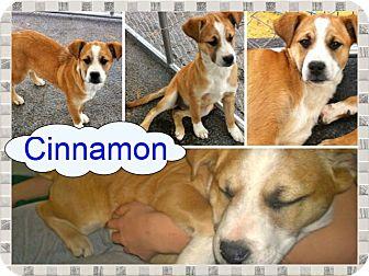 Boxer Mix Puppy for adoption in Ranger, Texas - Cinnamon