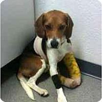 Adopt A Pet :: Gallagher - Phoenix, AZ