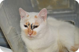 Calico Cat for adoption in Henderson, North Carolina - Lilly