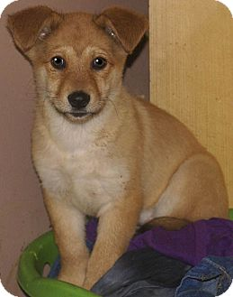 German Shepherd Dog/Labrador Retriever Mix Puppy for adoption in Staunton, Virginia - Shep