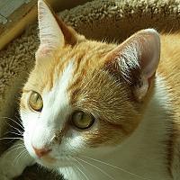 Domestic Shorthair Cat for adoption in San Fernando Valley, California - Sorbet