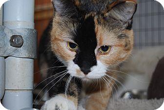 Calico Cat for adoption in Ridgway, Colorado - Amaluna