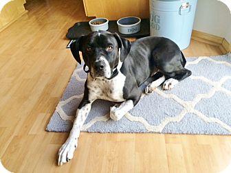 Boxer Mix Dog for adoption in Minneapolis, Minnesota - Nova