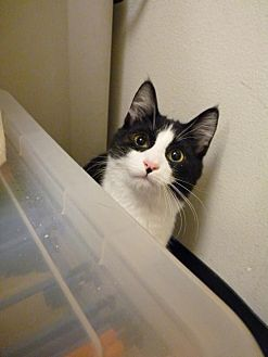 Domestic Shorthair Cat for adoption in Capshaw, Alabama - Panda