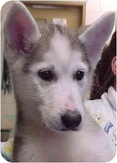 Siberian Husky Puppy for adoption in Various Locations, Indiana - Rebel