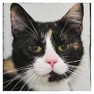 Calico Kitten for adoption in Salem, Massachusetts - Lulu