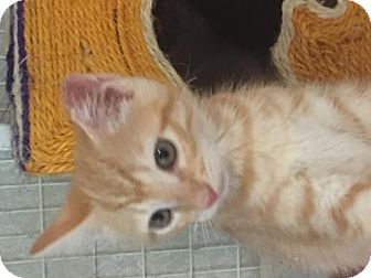 Domestic Shorthair Cat for adoption in Flint HIll, Virginia - Butterscotch