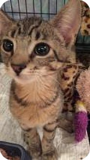 Domestic Shorthair Kitten for adoption in East Hanover, New Jersey - Tiger