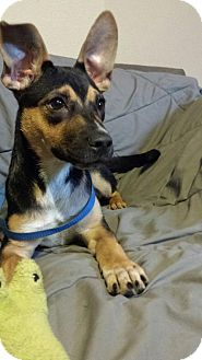 Retriever (Unknown Type)/Boxer Mix Dog for adoption in Olympia, Washington - Zeus2