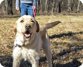 Labrador Retriever/Schnauzer (Giant) Mix Dog for adoption in Pittsburg, Kansas - Sage