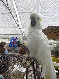 Cockatoo for adoption in Elizabeth, Colorado - Java