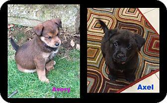 Labrador Retriever/Chow Chow Mix Dog for adoption in Akron, Ohio - A - Avery (Bone)