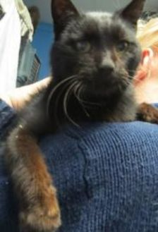 Domestic Shorthair/Domestic Shorthair Mix Cat for adoption in Robinson, Illinois - Kentley