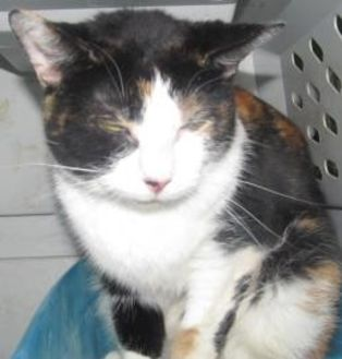 Domestic Shorthair/Domestic Shorthair Mix Cat for adoption in Robinson, Illinois - Annie