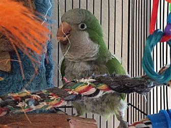 Parrot - Other for adoption in Elizabeth, Colorado - Petunia