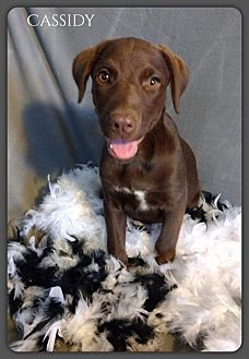Labrador Retriever Mix Puppy for adoption in DeForest, Wisconsin - Cassidy