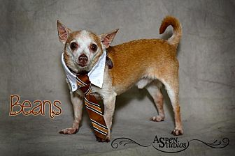 Chihuahua Dog for adoption in Valparaiso, Indiana - Beans