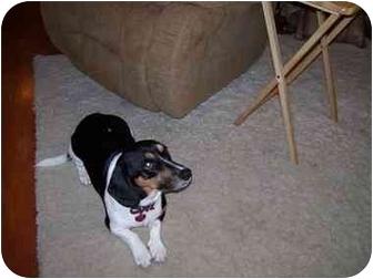 Dachshund/Basset Hound Mix Dog for adoption in Waukesha, Wisconsin - Stewie
