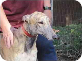 Greyhound Dog for adoption in Gerrardstown, West Virginia - Hero