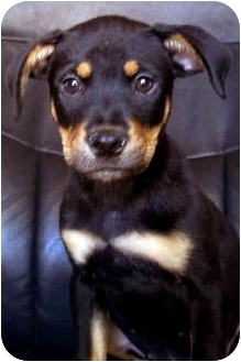 Rottweiler/Australian Cattle Dog Mix Puppy for adoption in Westminster, Colorado - Europa