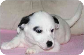 Cattle Dog/Terrier (Unknown Type, Small) Mix Puppy for adoption in House Springs, Missouri - Dottie