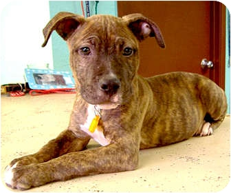 American Staffordshire Terrier/American Pit Bull Terrier Mix Puppy for adoption in Sacramento, California - Ty wants forever family