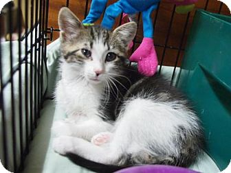 Domestic Mediumhair Kitten for adoption in Ocean City, New Jersey - Leo
