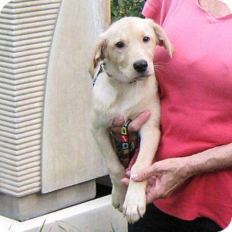 Labrador Retriever Mix Puppy for adoption in Spring, Texas - Baby Lillie