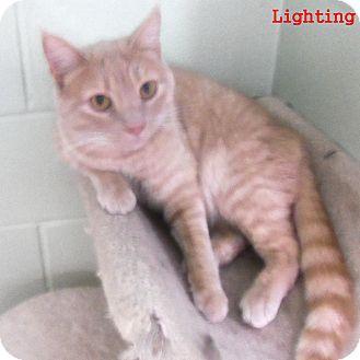 Domestic Shorthair Cat for adoption in Slidell, Louisiana - Lighting