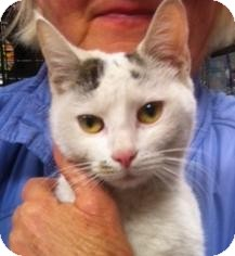 Domestic Shorthair Cat for adoption in Brooklyn, New York - Chelsea