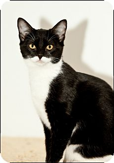 Domestic Shorthair Cat for adoption in Colville, Washington - Taz