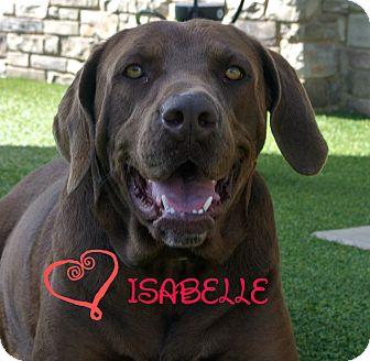 Labrador Retriever Mix Dog for adoption in white settlment, Texas - Isabelle