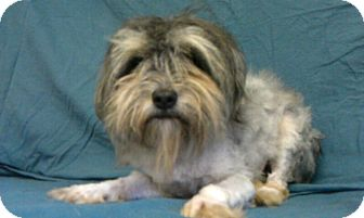 Yorkie, Yorkshire Terrier Mix Dog for adoption in Waldorf, Maryland - Maud