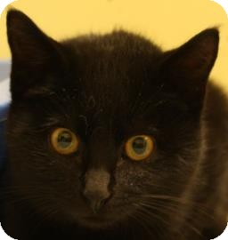 Domestic Shorthair Kitten for adoption in West Des Moines, Iowa - Ambrosia