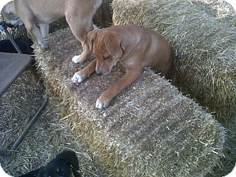 Boxer/Feist Mix Puppy for adoption in Bedminster, New Jersey - Brownie