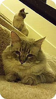 Siamese Cat for adoption in Austin, Texas - Pangur