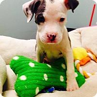 Adopt A Pet :: Caroline - New York, NY