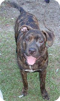 Pit Bull Terrier/Hound (Unknown Type) Mix Dog for adoption in Bunnell, Florida - Snoop