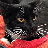 Domestic Shorthair Cat for adoption in Los Angeles, California - Skeeter