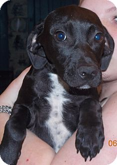 Labrador Retriever Mix Puppy for adoption in Earlville, New York - Brute