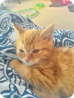 Domestic Mediumhair Kitten for adoption in Northville, Michigan - V15 Vin-ADOPTED