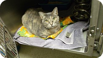 """Domestic Shorthair Cat for adoption in Muskegon, Michigan - """"purr""""mione"""