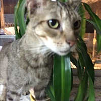 Bengal Cat for adoption in Sunny Isles Beach, Florida - Tyson